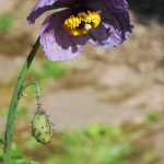 Meconopsis aculeata (Cultivated)