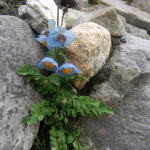 Meconopsis aculeata (Key Features)