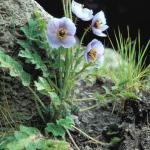 Meconopsis aculeata