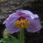 Meconopsis aculeata (Wild)