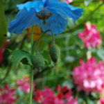 Meconopsis baileyi subsp. pratensis (Cultivated)