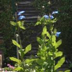 Meconopsis baileyi subsp. pratensis