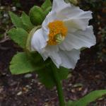 Meconopsis baileyi subsp. baileyi (Cultivated)
