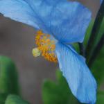 Meconopsis baileyi subsp. multidentata