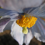Meconopsis baileyi subsp. multidentata (Cultivated)