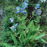 Meconopsis baileyi subsp. multidentata (Wild)