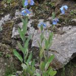 Meconopsis baileyi subsp. baileyi (Wild)