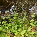 Meconopsis betonicifolia (Key Features)