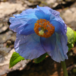 Meconopsis betonicifolia (Key Features)