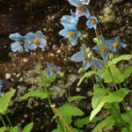 Meconopsis betonicifolia (Wild)