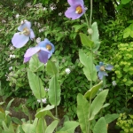 Meconopsis gakyidiana (Cultivated)