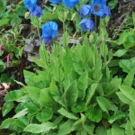 Meconopsis gakyidiana (Key Features)