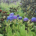 Meconopsis gakyidiana (Wild)