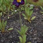 Meconopsis grandis subsp. grandis (Cultivated)