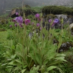 Meconopsis grandis subsp. grandis (Key Features)