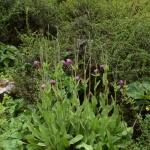 Meconopsis grandis subsp. grandis (Wild)