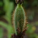 Meconopsis baileyi subsp. baileyi (Key Features)