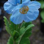 Meconopsis baileyi subsp. multidentata (Key Features)
