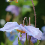 Meconopsis baileyi subsp. pratensis (Key Features)