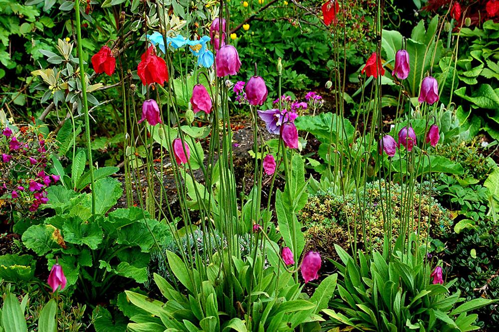 4 Meconopsis species in Garden