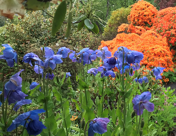 Meconopsis George Sherriff Group growing at The National collection of Meconopsis at Branklyn Garden Perth.