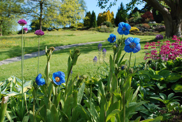 Meconopsis 'Mrs Jebb' in the Border at The National Collection of Meconopsis, Holehird Garden, Lake District.