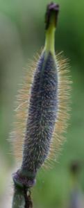 Meconopsis Slieve Donard seed pod