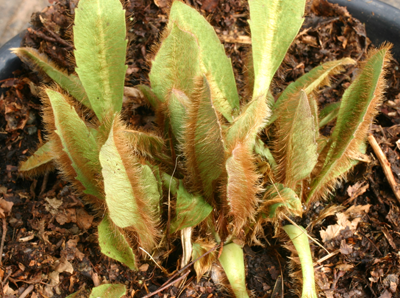 Young leaves covered with ginger hairs