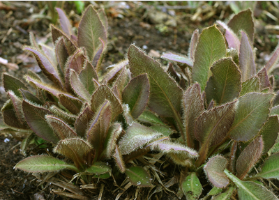 Young leaves with red-purple pigmentation