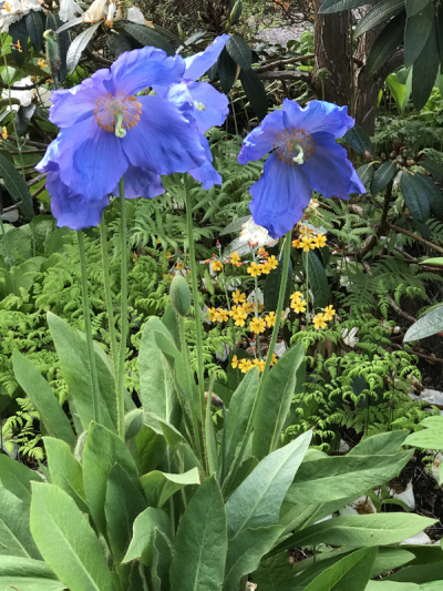 Meconopsis 'Mop-head' at Branklyn