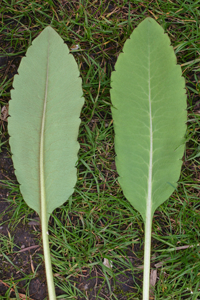 Pale green leaves showing a long petiole and even teeth along the edge.