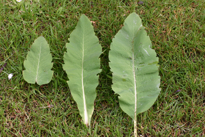 Leaves showing the course teeth . False whorl, leaf, stem leaf and basal leaf.