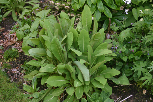 Mature clump of leaves.