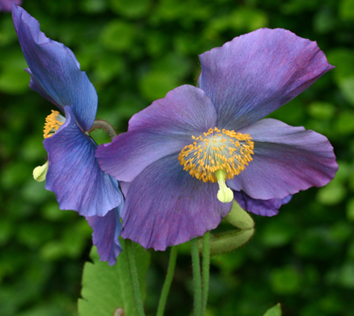 M. Dalemain flowers showing blue-purple colouring.