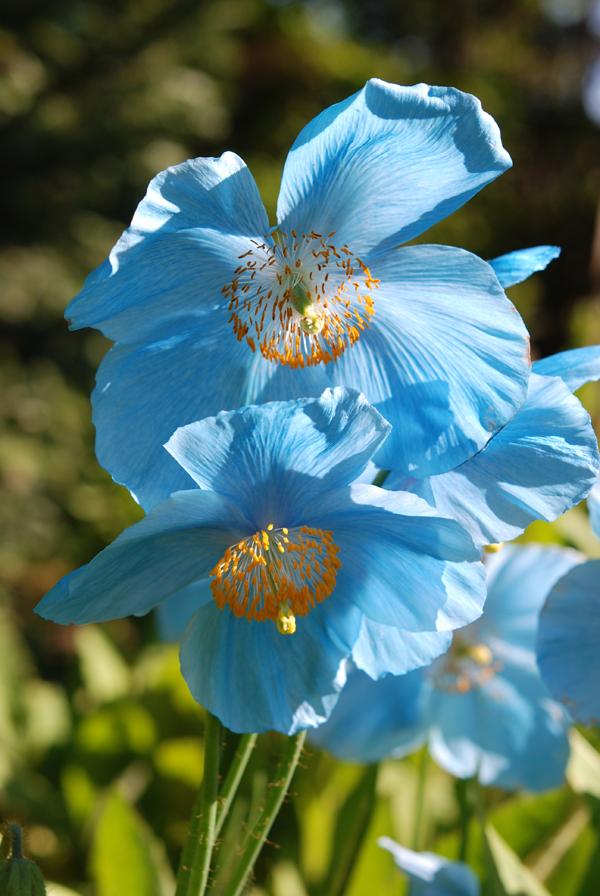 Blue torquise flowers