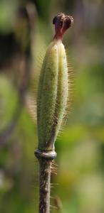The narrow ellipsoid fruit capsule