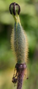 Ellipsoid fruit capsule covered in short bristles. ES.