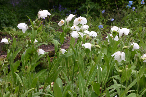 A group of Meconopsis 'Marit'