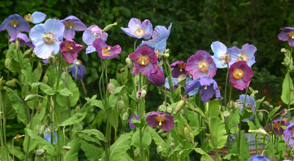 Large clump of Meconopsis 'Barney's Blue'.