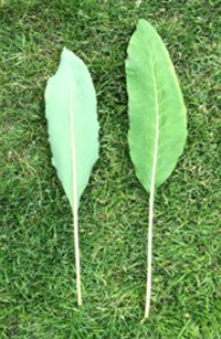 Mature leaves With long petiole.