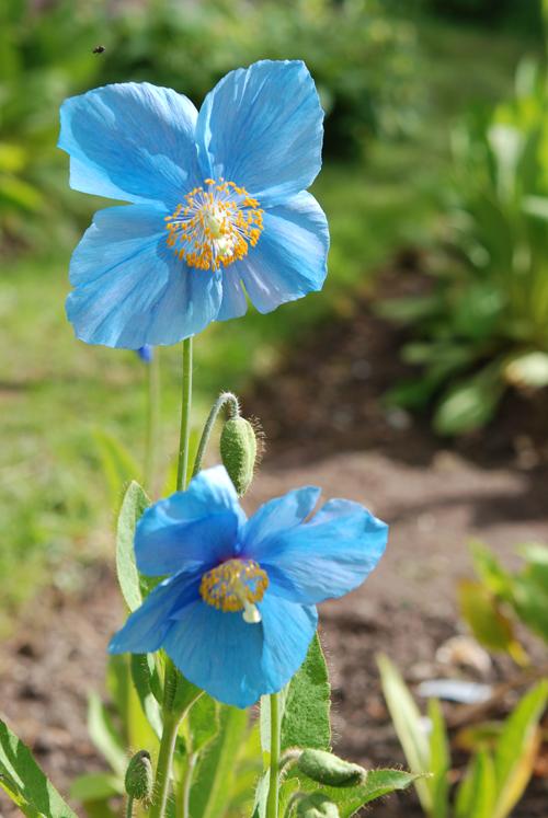 Square pale blue flowers
