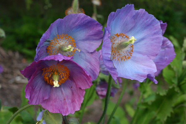 Meconopsis 'Barney's Blue'