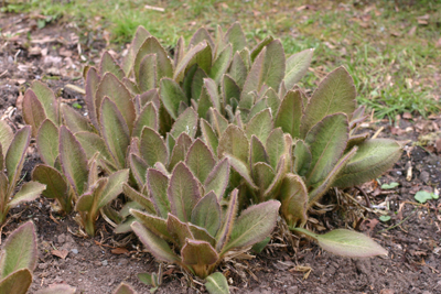 Young leaves showing red-purple pigmentation