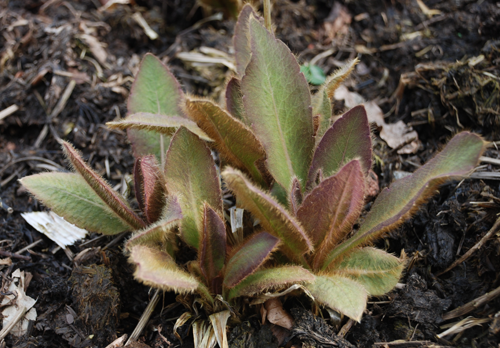 Young leaves showing a purple tinge.