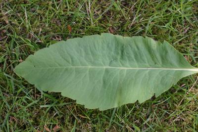 a single leaf showing neat serrate teeth.