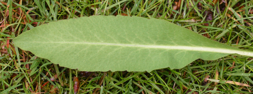 A leaf showing the shallow serrate-dentate teeth.