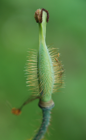 Young ellipsoid fruit capsule with straw coloured bristles.