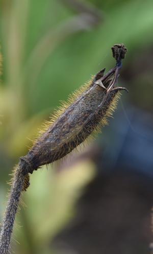 A mature fruit capsule covered in bristles with a short blob - like stigma.
