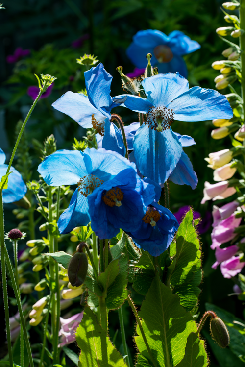 Clump of Meconopsis 'Huntfield' AJ.