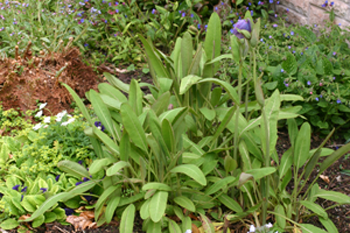 2. Mature leaves which arch to the ground,with long pedicels.